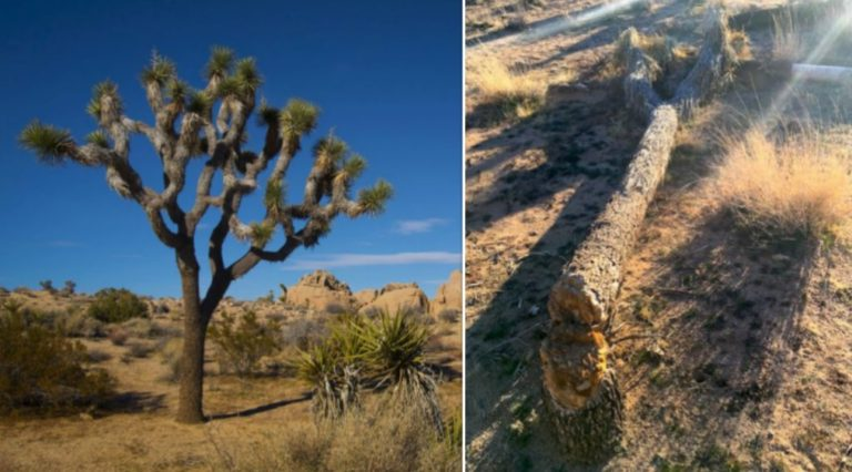 Joshua Tree National Park closed after vandals start cutting down trees
